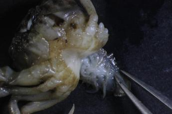 Normal female Rhithropanoeus harrisii