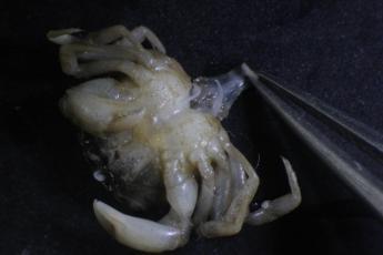 Normal male Rhithropanoeus harrisii