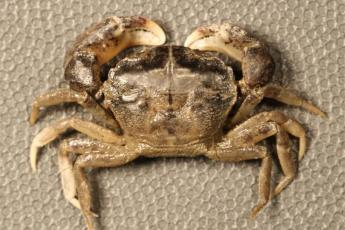 Rhithropanoeus harrisii (white-fingered mud crab)