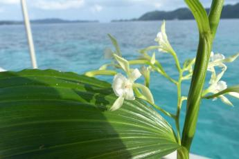 A picture of an orchid in Palau with blue ocean behind it.