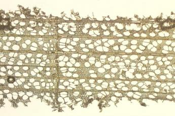 A view of the cellular structure of tulip poplar wood