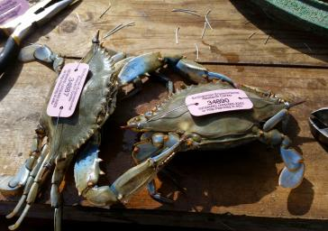 Blue Crabs Tagged by SERC