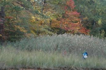 Doing research in a patch of non-native Phragmites