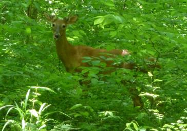 Deer hiding in a forest