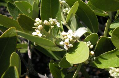 black mangrove flowers
