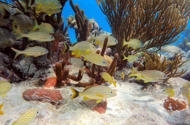 Yellow fish swimming in coral