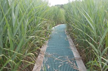Boardwalk surrounded on both sides by invasive Phragmites reeds