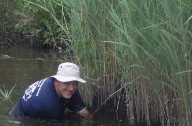 Scientists in water inspects Phragmites patch