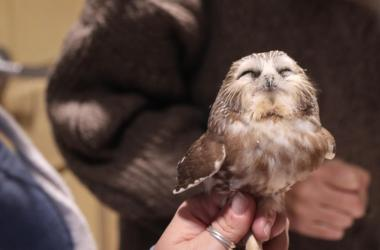 Saw-whet owl with eyes closed in hand