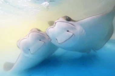 Two cownose rays swimming underwater, with bubbles above them