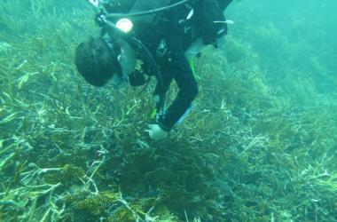 Diver inspecting corals underwater