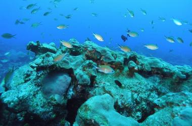 Chromis fish swimming over reef
