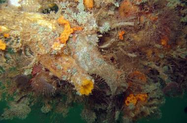 Tunicate ascidia sydneiensis