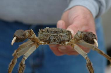 Chinese mitten crab in scientist's outstretched hand