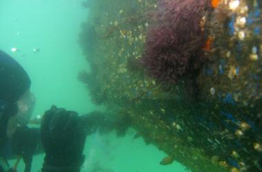 Diver sampling hull of ship with colorful marin life underwater
