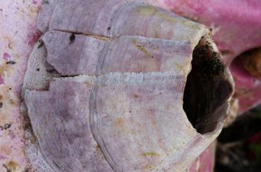 Close-up of pink acorn barnacle on pink buoy