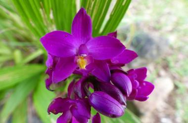 Purple orchid on Palau (Spathoglottis petri)