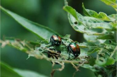 Two beetles foraging on tree leaves