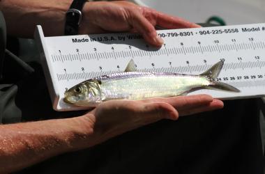 Measuring river herring