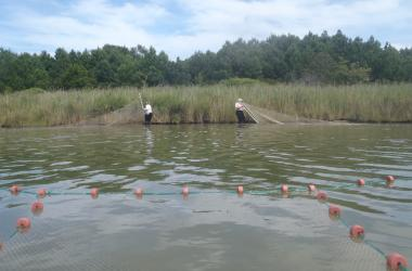 Seining for fish predators at a marsh