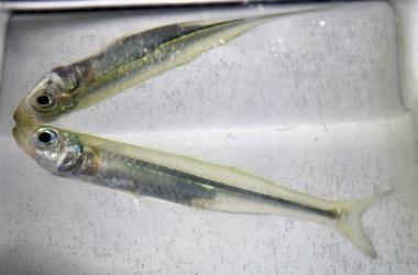 Silverside fish reflected