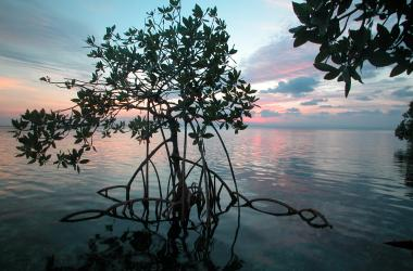Red mangrove tree in water at sunset