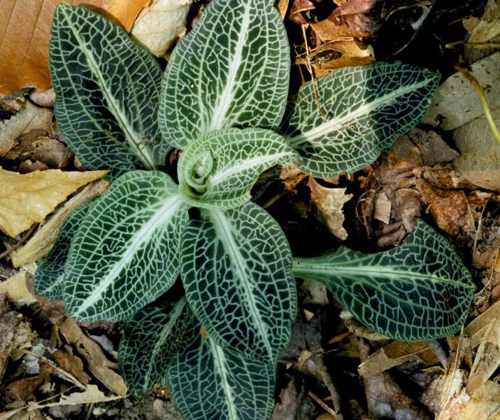 A plant of Goodyera pubescens