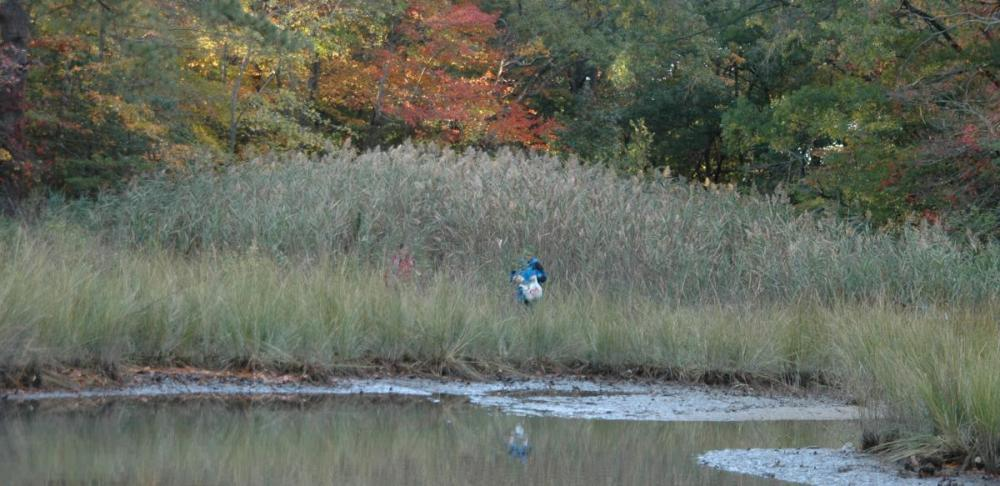 Collecting samples in a patch of non-native Phragmites