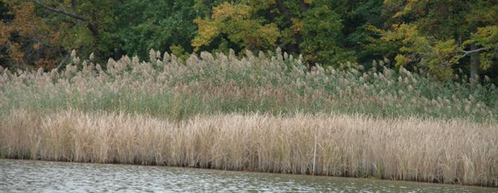 Phragmites australis growing along a shoreline