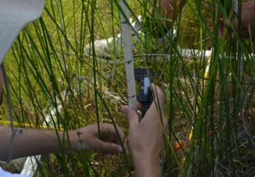 measuring the phrag