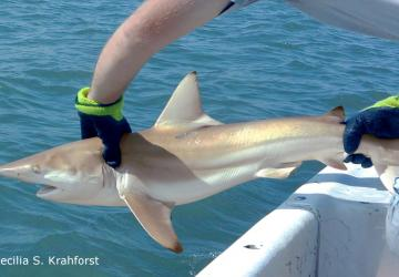 Tagged blacktip shark being returned to the water