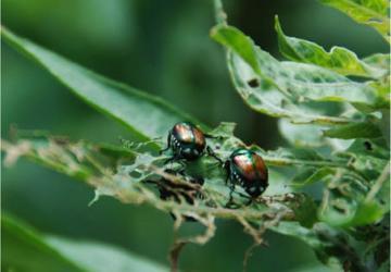 Beetle damage