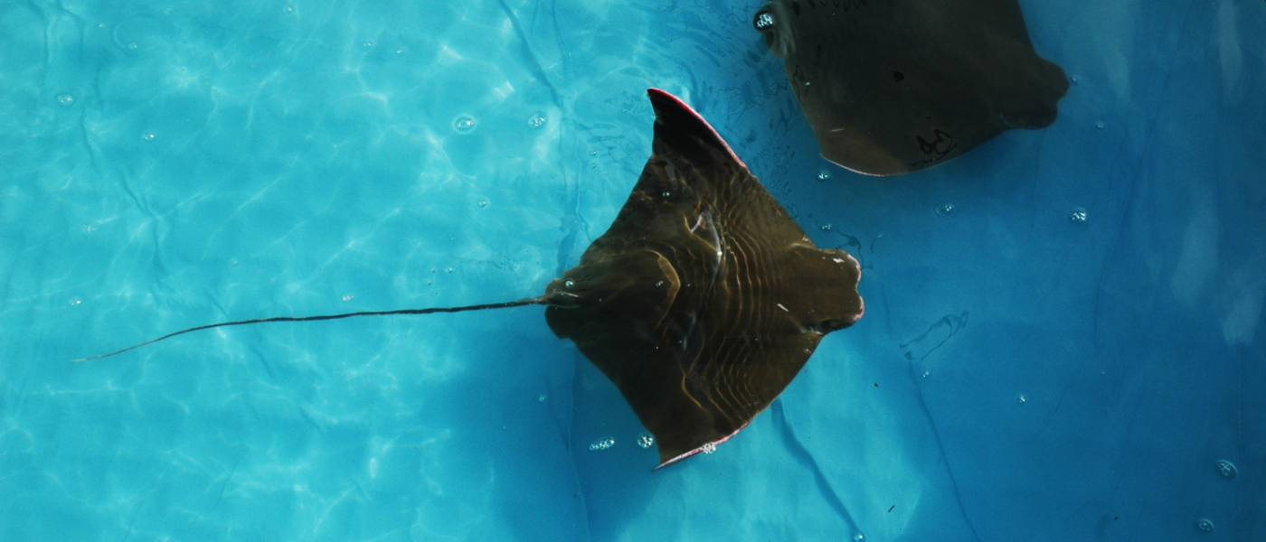 Cownose Ray migration in Chesapeake Bay
