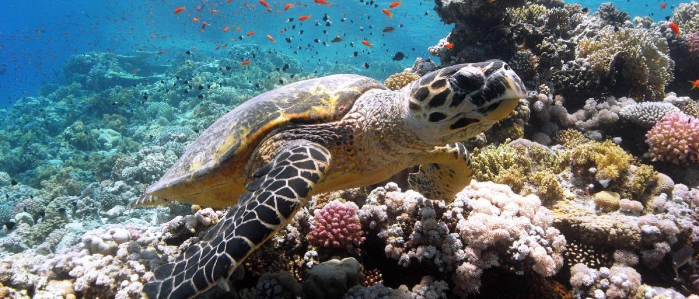 Hawksbill sea turtle swimming over reef