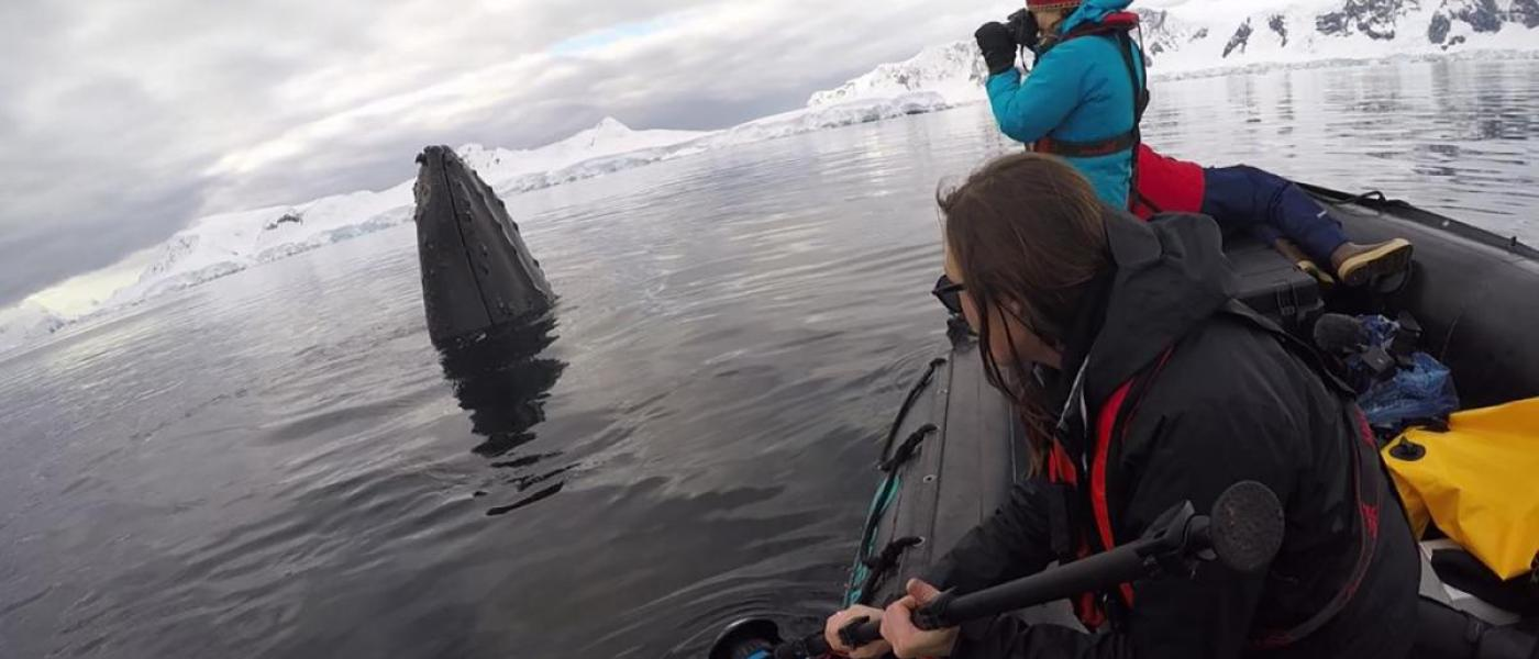 Two people on a boat watching a humpback whale rise out of the water in Antarctica