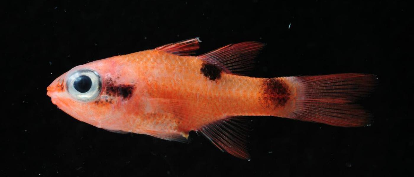 Atlantic Cardinalfish