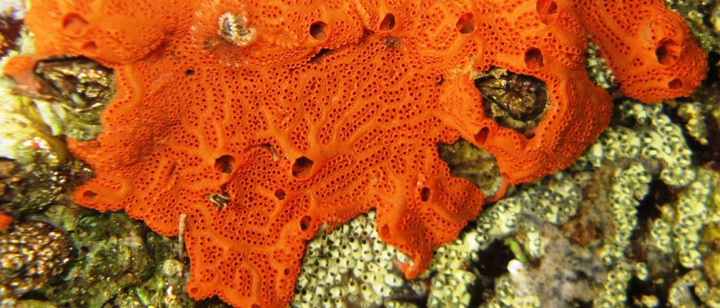 Botryllus planus tunicate