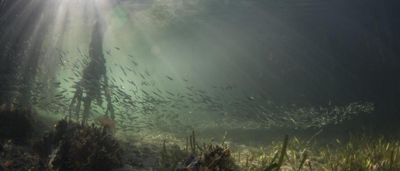 Life in the mangroves in Panama