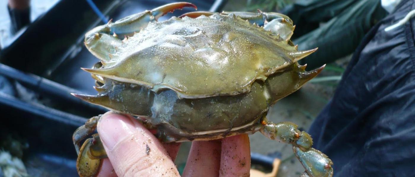Molting crab in seine surveys