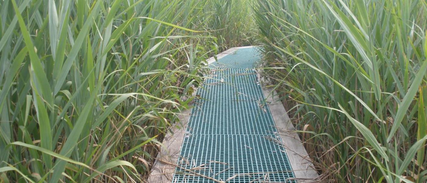 Boardwalk in marsh with Phragmites reeds on both sides