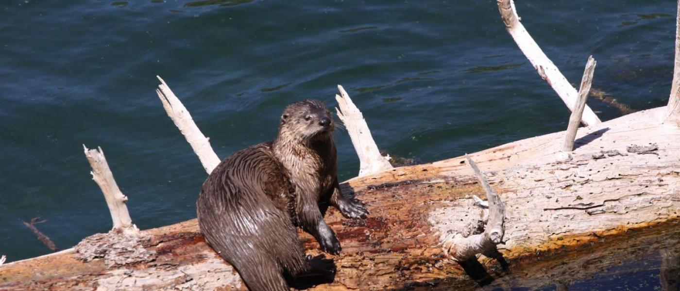 Chesapeake Bay Otter