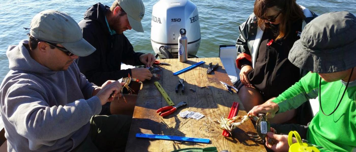 Tagging mature female blue crabs for migration study