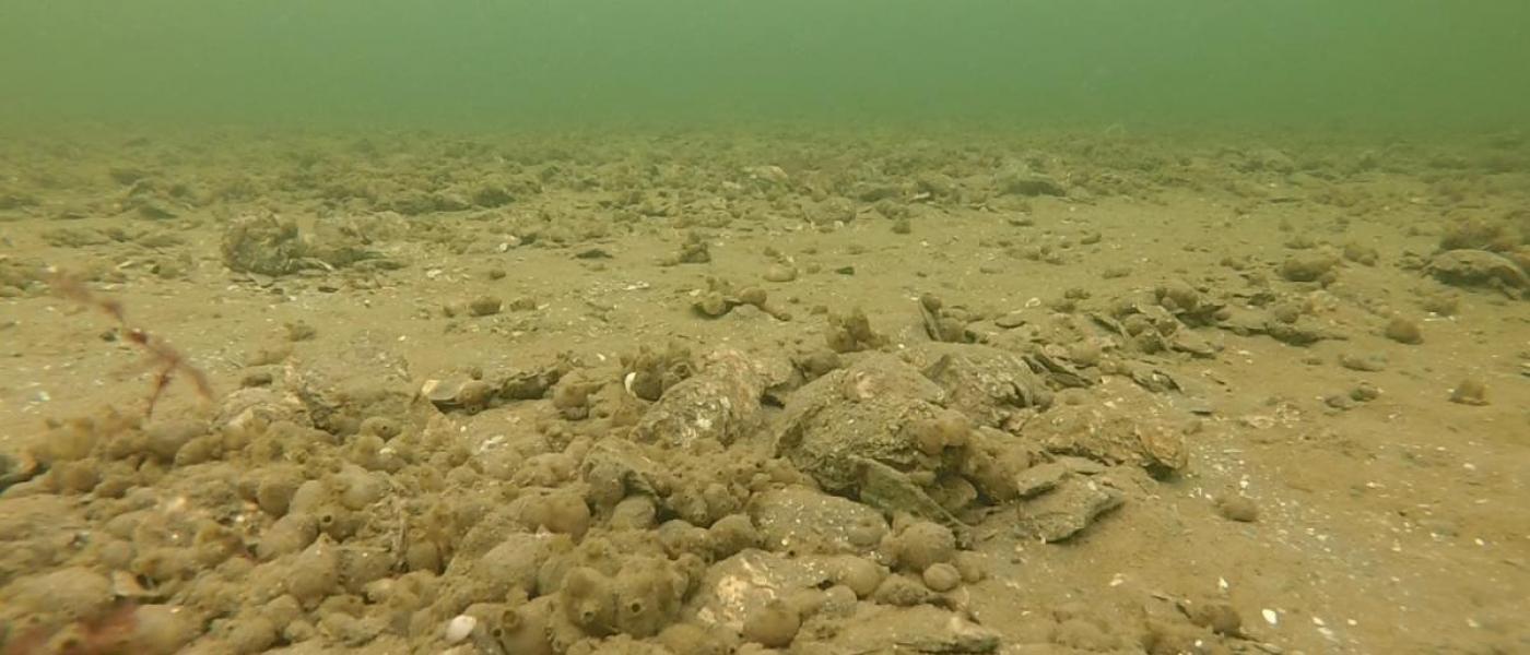 Broad Creek oyster reef