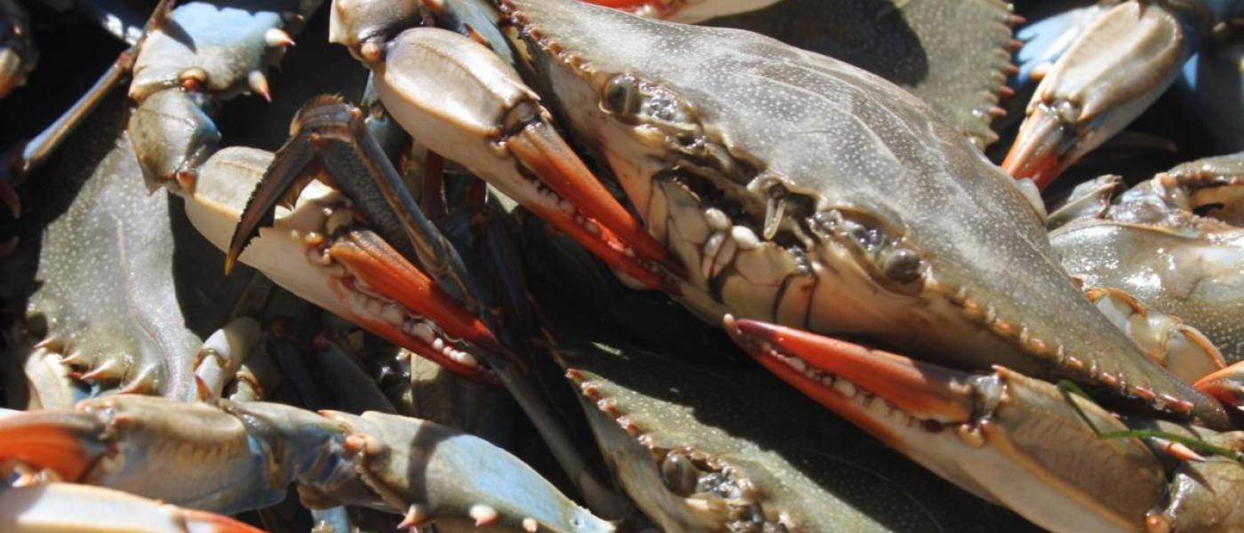 Female blue crabs in Chesapeake Bay