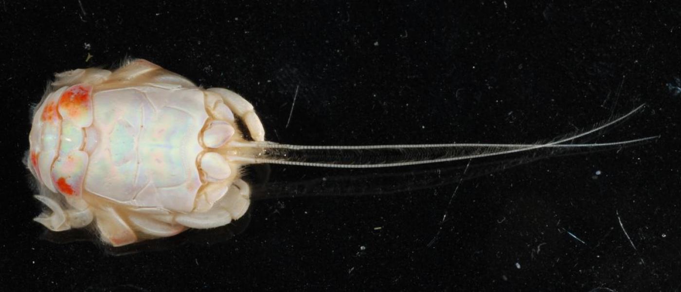 Sand crab (Lepidopa websteri)