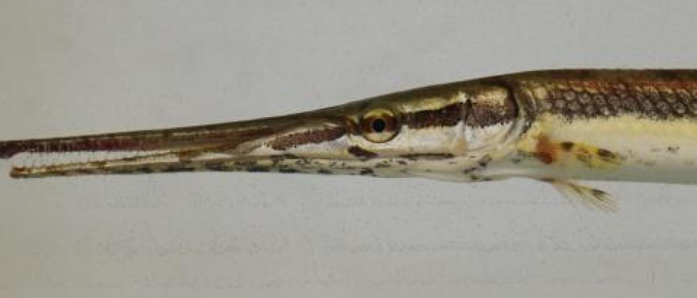 Fish Longnose Gar (Lepisosteus osseus)