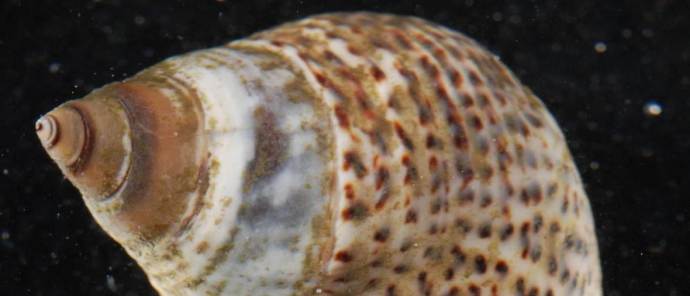 Marsh periwinkle (Littoraria irrorata)