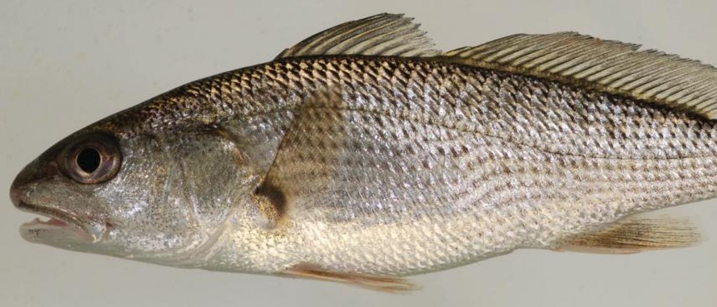 Red Drum fish (Sciaenops ocellatus)