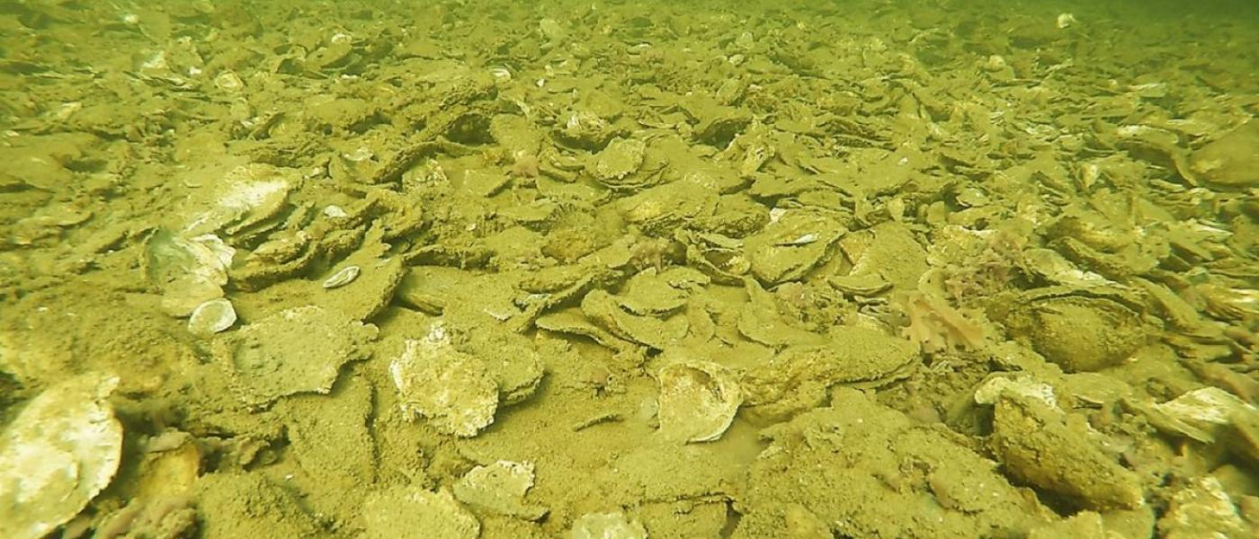 Oyster reef in the Choptank River