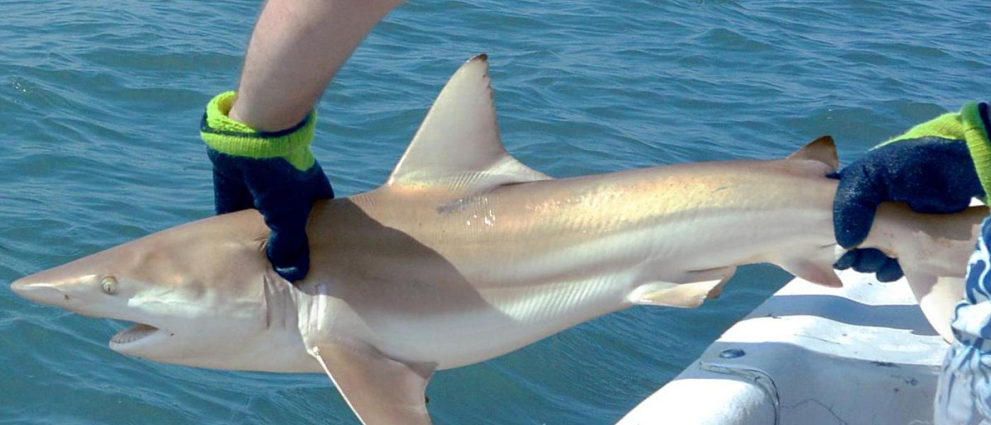 blacktip shark returning to water after tagging